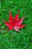 jappanese клен листьев Стоковая Фотография RF