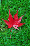 Jappanese Maple Leaf. Japanese maple leaf on the green grass Royalty Free Stock Photography