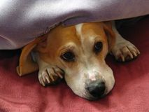 Jaque do filhote de cachorro Imagens de Stock