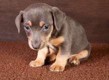 Jaque Russel do filhote de cachorro Fotografia de Stock Royalty Free