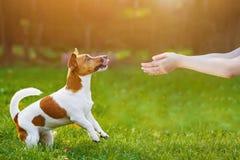Jaque russell do cachorrinho e mãos dos povos com apresentação de seu produto Foto de Stock