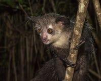 Jaröst-jaröst nattlig maki av Madagascar Arkivfoto