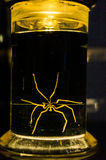 Jar of formaldehyde with creature. Lit jar of formaldehyde showing glowing yellow spider like creature stock photo
