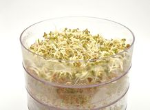 Jar with sprouting vegetable Stock Image