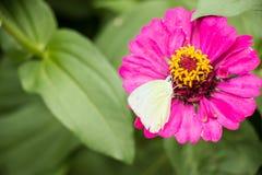 Jarabe blanco de la alimentación de la mariposa en la flor rosada del zinnia Fotografía de archivo