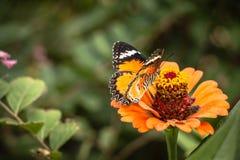 Jarabe de alimentación de la mariposa de monarca en la flor del zinnia Imagen de archivo libre de regalías