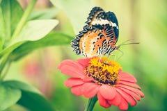 Jarabe de alimentación de la mariposa de monarca en la flor del zinnia Fotografía de archivo libre de regalías