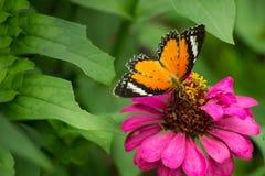 Jarabe de alimentación de la mariposa de monarca en la flor del zinnia Fotos de archivo libres de regalías