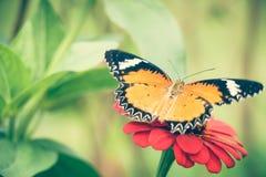 Jarabe de alimentación de la mariposa de monarca en la flor del zinnia Fotos de archivo