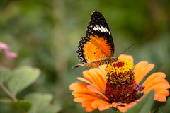 Jarabe de alimentación de la mariposa de monarca en la flor del zinnia Foto de archivo