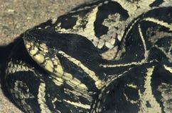 Jararacussu, een grote en zeer giftige Zuidamerikaanse slang Royalty-vrije Stock Foto's