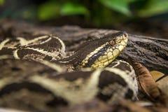 Jararacussu orm (bothropsen Jararacussu) som slingra sig på det kalt arkivbilder