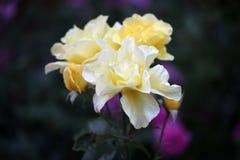 Jardín amarillo de la estación de Rose Summer fotografía de archivo