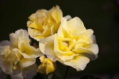Jardín amarillo de la estación de Rose Summer imagenes de archivo