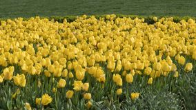 Jardín amarillo del tulipán en Emirgan fotografía de archivo