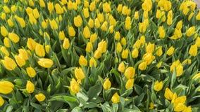 Jardín amarillo del tulipán en Emirgan foto de archivo libre de regalías
