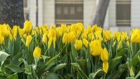 Jardín amarillo del tulipán en Emirgan fotos de archivo