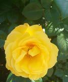 Jardín amarillo del verano de la flor de Rose natural fotografía de archivo