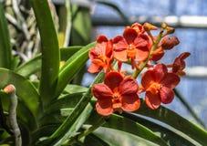 Jardín anaranjado de la orquídea Fotografía de archivo