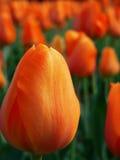 Jardín anaranjado del tulipán Imagenes de archivo