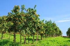 Jardín anaranjado en Tailandia norteña Imagen de archivo libre de regalías