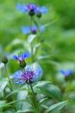 Jardín azul de los acianos Fotografía de archivo libre de regalías