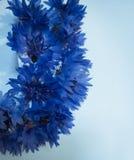 Jardín azul de los acianos de las flores del verano imágenes de archivo libres de regalías