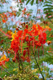 Jardín botánico admitido de la flor de pavo real (pulcherrimais) del Caesalpinia USF Fotografía de archivo