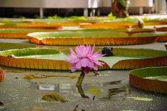 Jardín botánico de la flor del lirio de agua Imagen de archivo