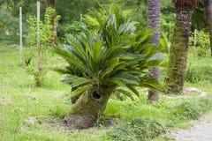 Jardín botánico en Sujumi Fotografía de archivo