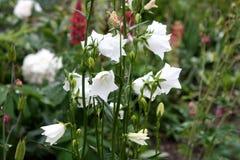 Jardín Campo del jardín Florecimiento de la primavera alarma imagenes de archivo