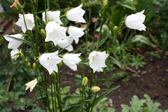Jardín Campo del jardín Florecimiento de la primavera alarmas Imagen de archivo
