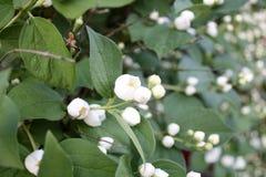 Jardín Campo del jardín Florecimiento de la primavera Jazmín Foto de archivo