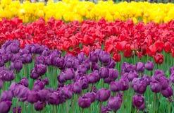Jardín colorido del tulipán Imagen de archivo