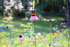 Jardín con Coneflowers rosado y púrpura Imagen de archivo