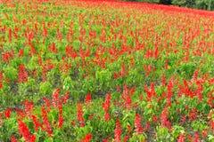Jardín con la planta de Salvia Fotos de archivo libres de regalías