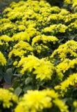 Jardín con las dalias amarillas Foto de archivo libre de regalías