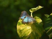 Jardín con una mariposa azul de Morpho con las alas ampliadas Imagen de archivo