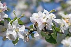 Jardín de Apple en resorte Foto de archivo libre de regalías