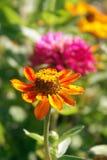 Jardín de flor anaranjado y rosado Foto de archivo