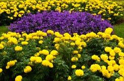 Jardín de flor púrpura y amarillo Fotografía de archivo