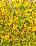 Jardín de flores amarillas Foto de archivo libre de regalías
