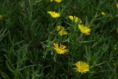 Jardín de flores amarillas imagen de archivo