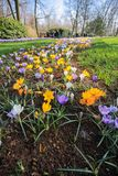 Jardín de flores colorido del azafrán Fotografía de archivo