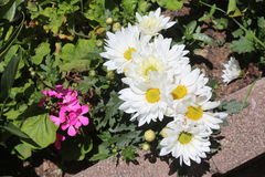 Jardín de flores con el ` blanco s del crisantemo Fotos de archivo