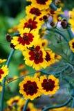 Jardín de flores - coreopsis Foto de archivo libre de regalías