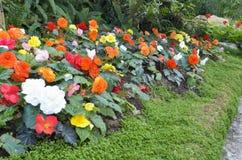 Jardín de flores de la begonia Foto de archivo