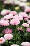 Jardín de flores de la margarita Fotos de archivo