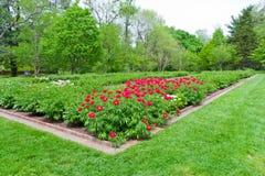 Jardín de flores de la peonía. Imagen de archivo libre de regalías
