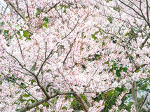 Jardín de flores de Sakura en la isla de Jeju Fotos de archivo